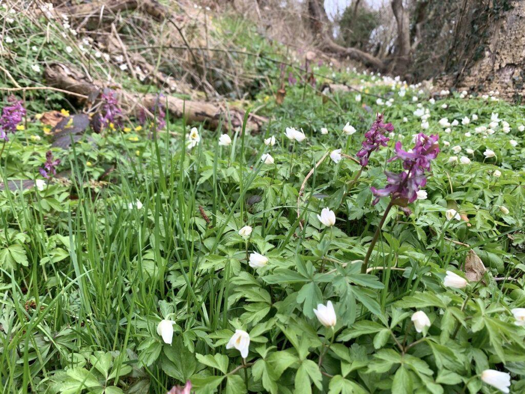 Blåskinsdalen - anemoner og orkideer